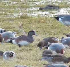AMERICAN WIGEON-BURTON RSPB-5TH FEBRUARY 2015