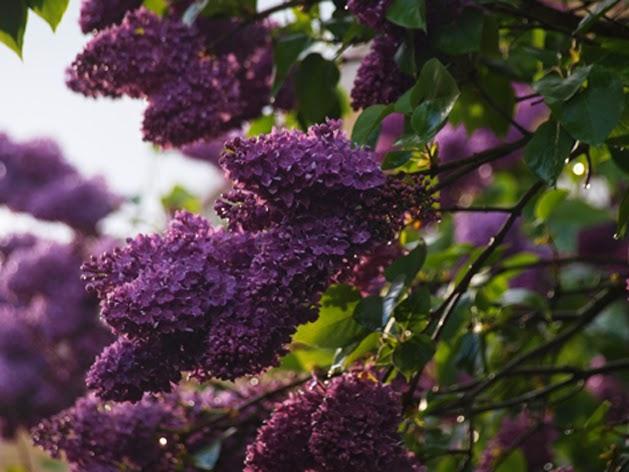 Blomstrende syrener fylder haven mad duft, farve og skønhed i maj
