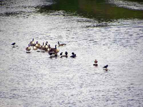 Enten auf der Ruhr