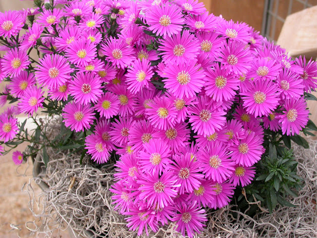marvelous aster flowers
