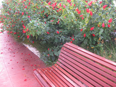 Red Hibiscus flowers in Benalmadena, Spain