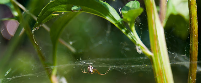 Linyphia triangularis Sheet weaver spider