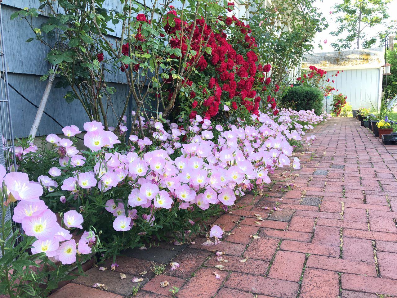 Jardineria Plantas Y Su Cuidado Oenothera Speciosa Perennial