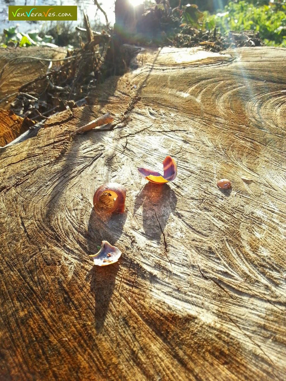 Restos de caracois comidos por tordo común sobre un tronco cortado