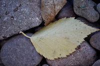 Yellow birch leaf against Lake Superior rocks