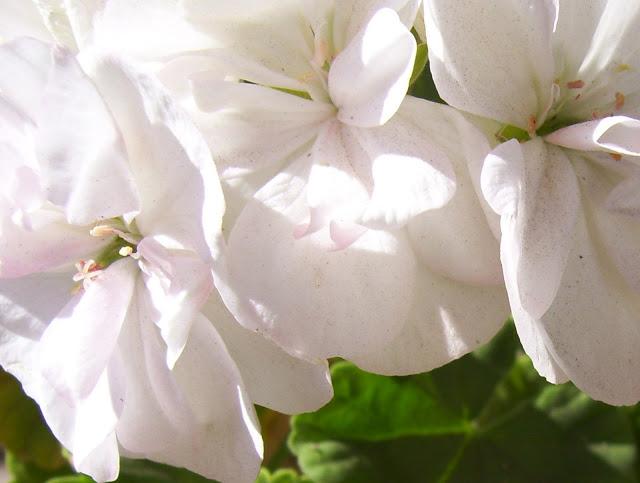 Flor de Geranio Blanco