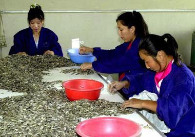 Hạt dưa, hạt hướng dương Trung Quốc chứa chất gây teo não