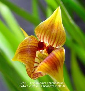 Trigonidium acuminatum  do blogdabeteorquideas