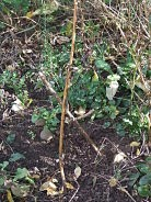 Skirret stalk