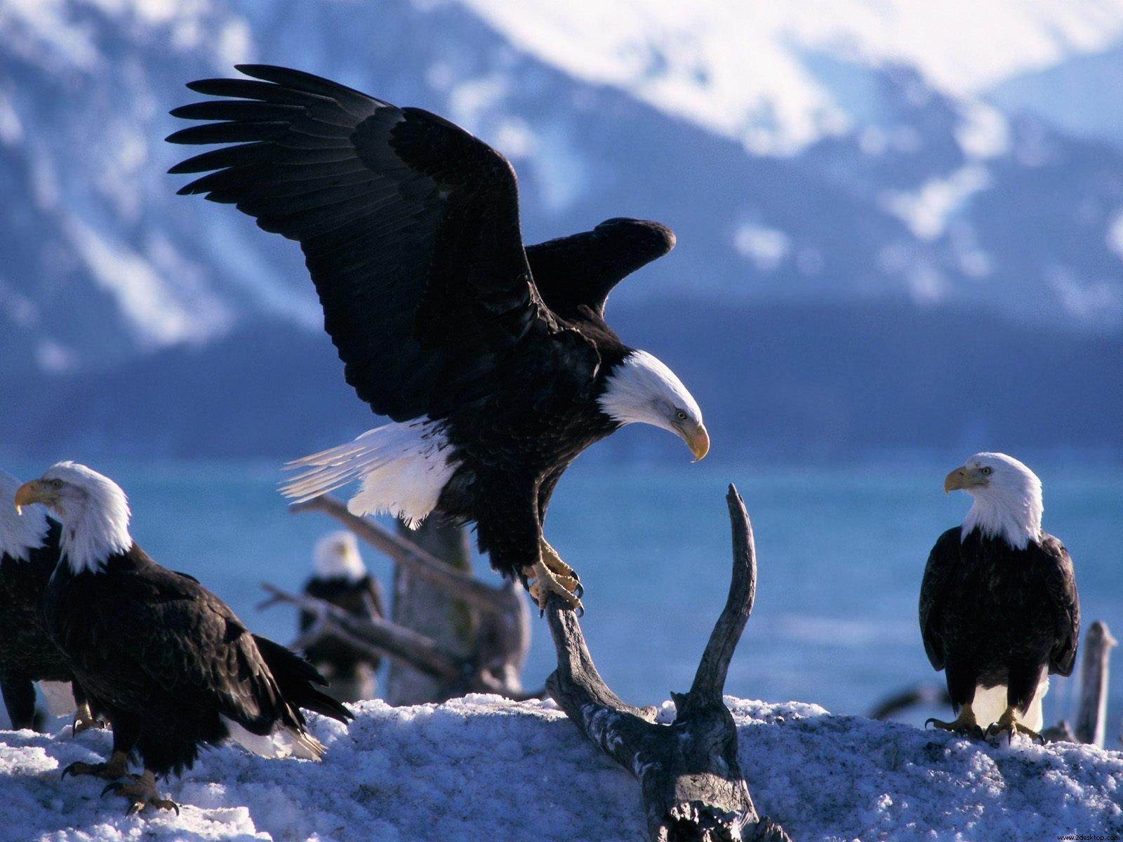 http://4.bp.blogspot.com/-wP0eZlbPh64/TjhwiSL8r5I/AAAAAAAAAFo/woxa5aZ1Nj8/s1600/Wings%2BExtended%2BBald%2BEagles.jpg