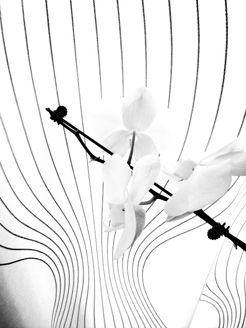 orchid, backlit, drapes, blinds, lines, graphic,