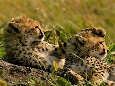 cheetahs love animal pictures