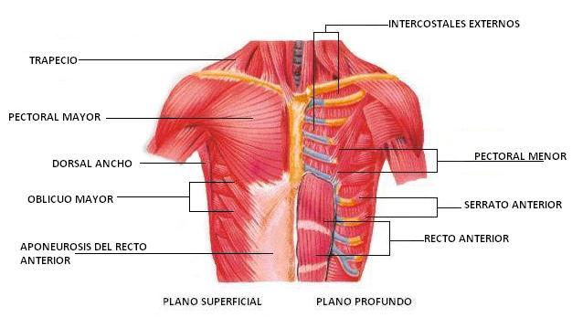 Msculos del trax y del abdomen  El Cuerpo Humano