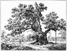 Roble en un grabado danés del siglo XIX