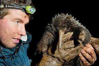 Ekidna moncong panjang timur (Zaglossus bartoni)|Data 7 Hewan  Langka Yang Hampir Punah