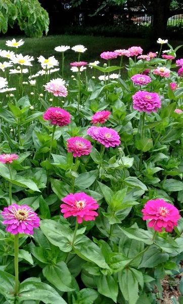 Benary Giant Zinnia Best Flower Ever A Must For Cutting Gardens Dreaming Gardens