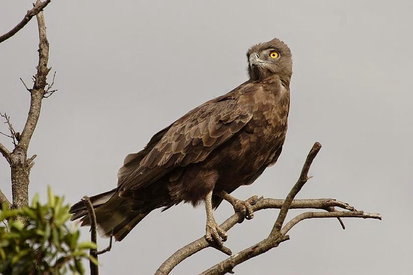 Águila Culebrera Cenicienta Posada