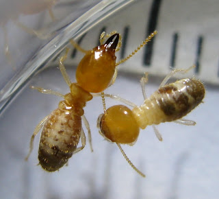 A soldier and a worker of Odontotermes termite