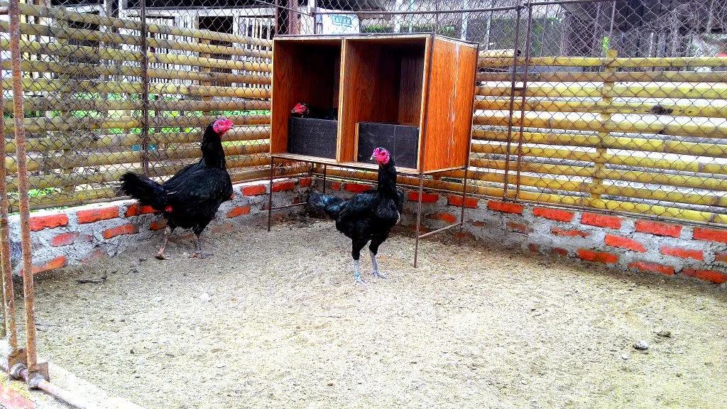 Kandang Ayam Bangkok yang Sehat   Ayam Bangkok Asli