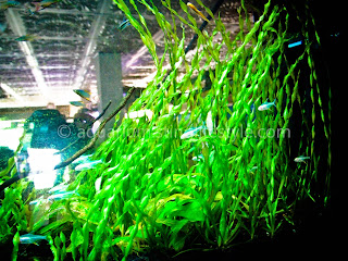 Wall Mounted Planted Aquarium with Valesnaria