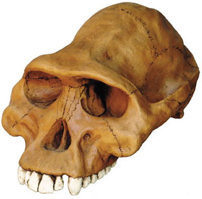 craneo de Australopithecus afarensis