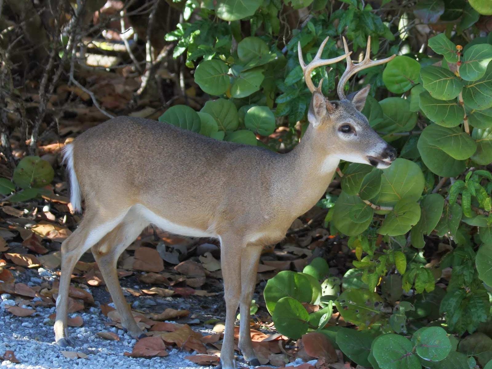 Key Deer On Big Pine Key In The Florida Keys On March 1 2014