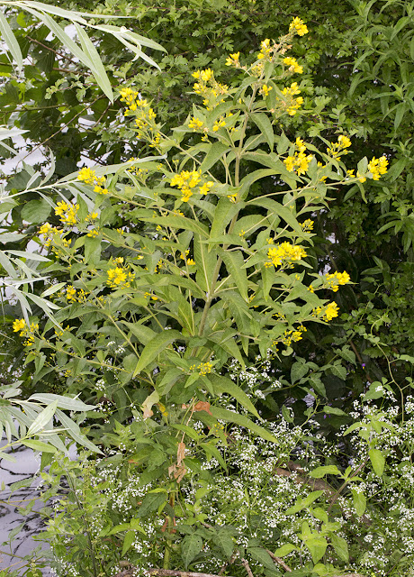 Yellow Loosestrife, Lysimachia vulgaris.  Leybourne Lakes, 12 July 2015