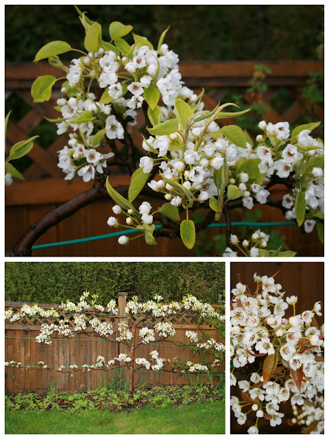 Asian pear espalier tree