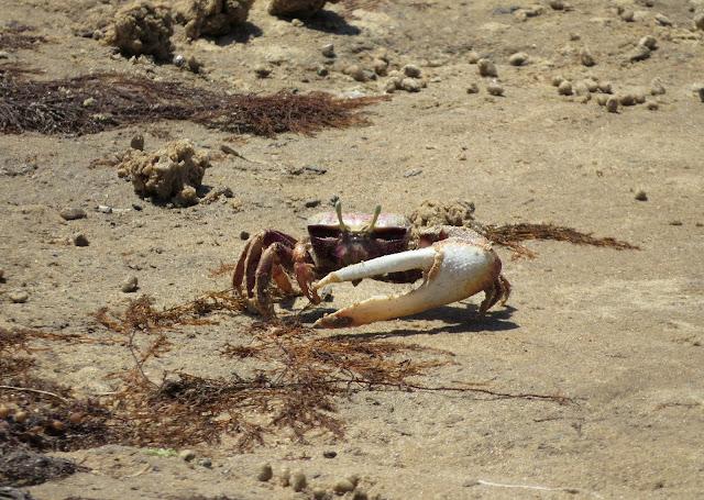 Fiddler Crab - Spain