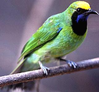 cucak hijau sumattra