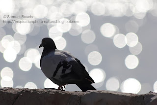 photo animalière oiseau pigeon flare cercle de lumière