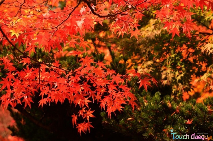 The rust colored maple trees