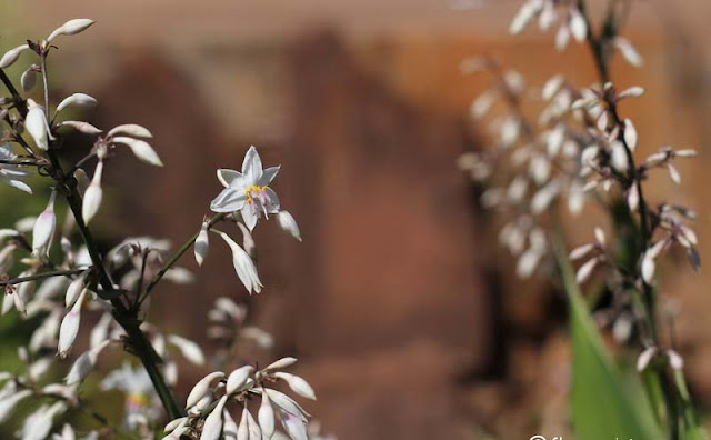 Arthropodium Cirratum Flowers Pictures