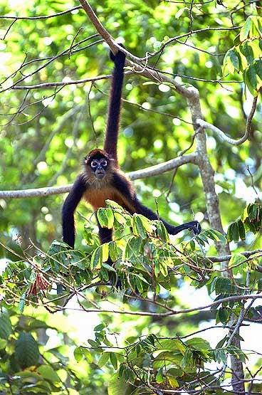 ... Rainforest Animals: Amazon rainforests animals : The Spider monkey