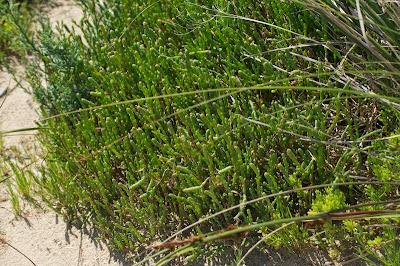 Beaded Samphire (Sarcocornia quinqueflora)