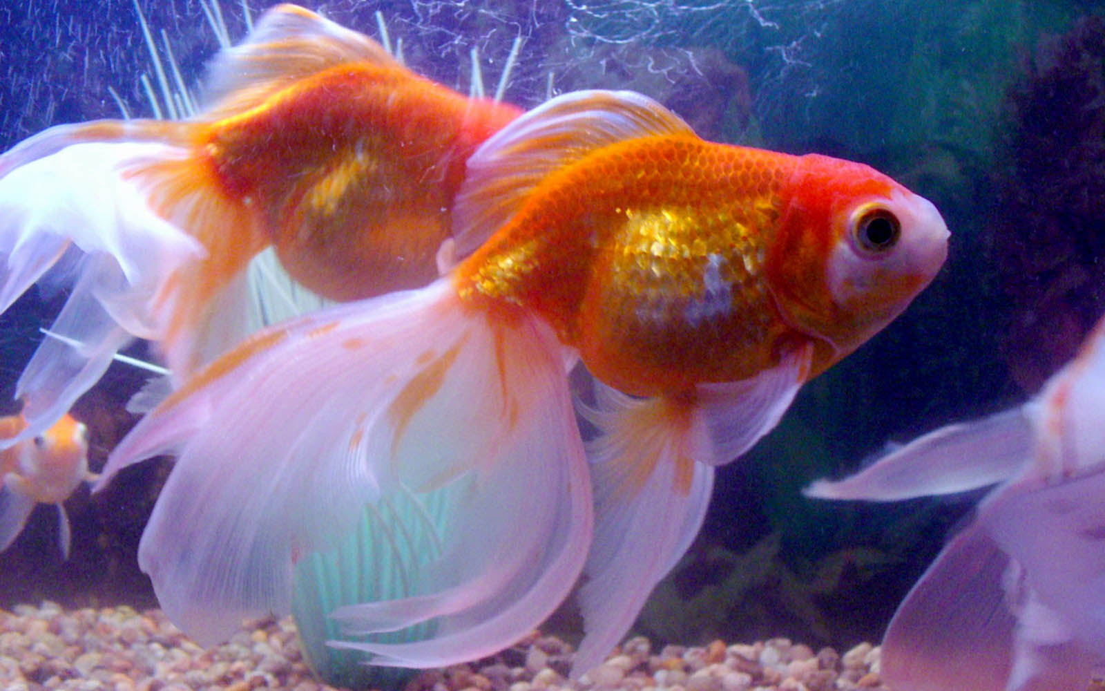 Gold Fish Pictures Hd Wallpapers