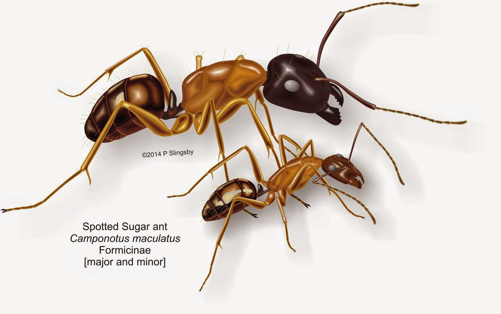 Ants of Southern Africa -: Large Camponotus sp: very large Sugar ants
