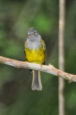 Grey-headed Canary-Flycatcher (Culicicapa ceylonensis)