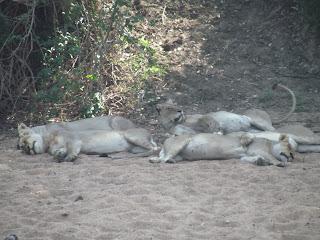 Wij hadden inmiddels geconstateerd dat de leeuwen hun dikke buiken al volgevreten hadden en dus niet echt meer op jacht naar nieuwe prooi waren. Ze lagen rustig uit te buiken in de schaduw van de watertank....