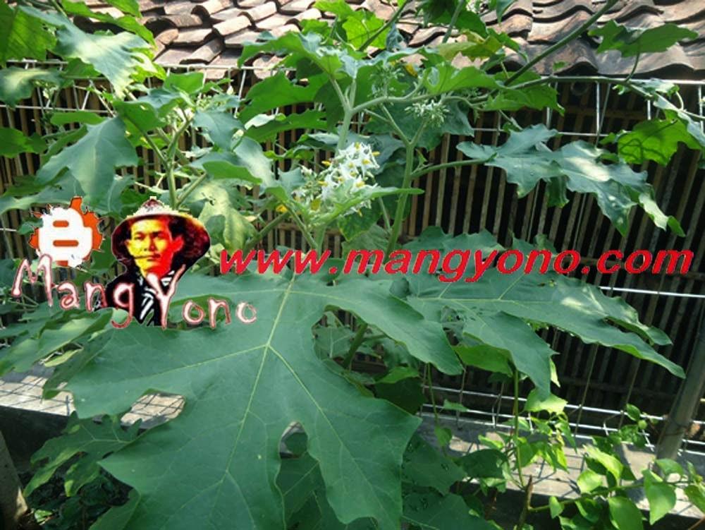 Pohon Takokak, Rimbang, Terung Pipit (Solanum Torvum) tumbuh di kebun belakang rumah saya.