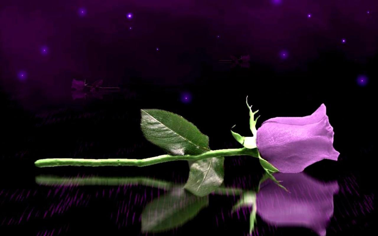 purple rose wallpaper hd desktop wallpaper