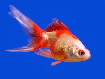 Fantail Goldfish 2