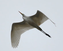 Fly Flatts Great Egret