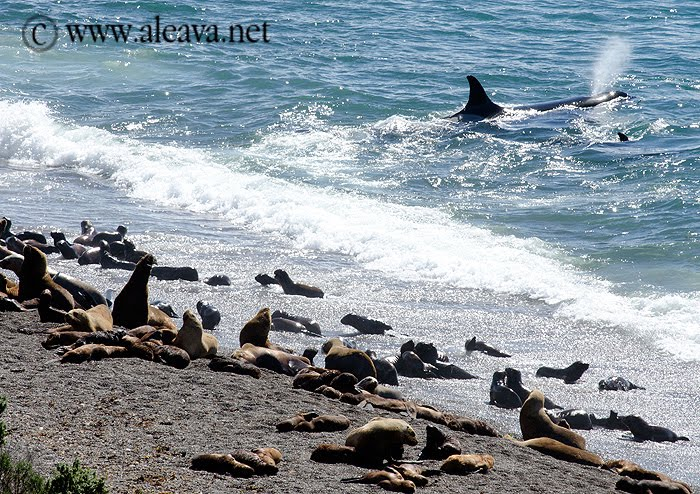 Orca Killer Whale attack in Punta Norte Valdes Peninsula