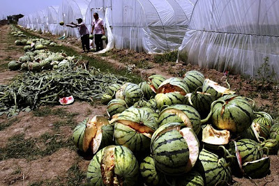 china's latest food scandal: exploding watermelons!