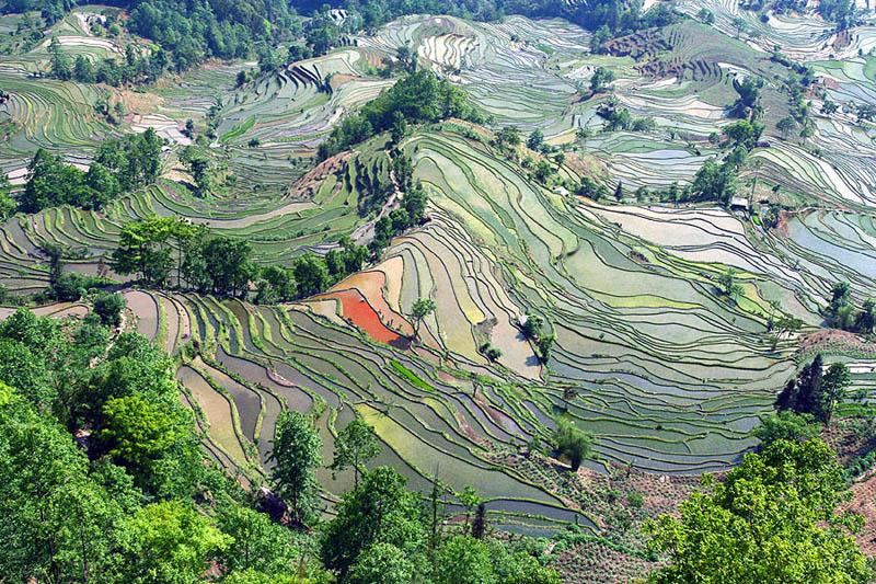 Terasasta polja  Pirincana-polja-13