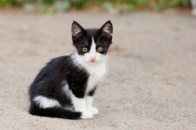 stray kitten feral cats spay and neuter