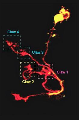 Neuron claw