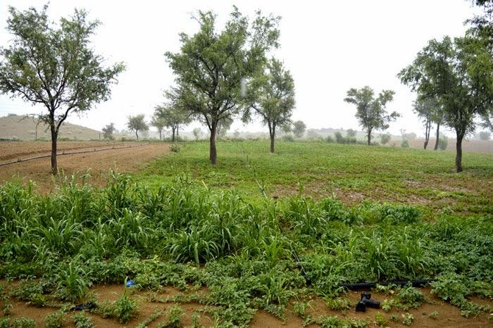 crop in rain