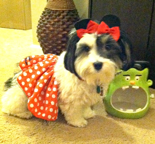 diy-halloween-costume-ideas, diy-dog-halloween-costumes, dog-halloween-costume-ideas, halloween-costumes-for-my-havanese, how-to-make-minnie-mouse-ear-clips, disney-minnie-mouse-tutu-petsmart,
